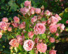 Роза Лидия