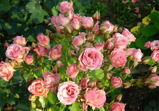 Роза Лидия 1