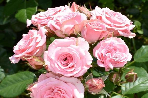 Роза Лидия 2
