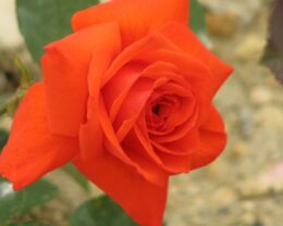 Роза Майнтауэр
