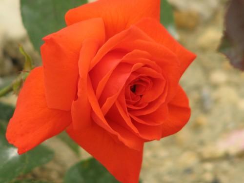 Роза Майнтауэр изображение 1