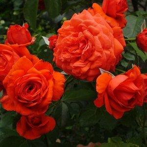 Роза Майнтауэр изображение 2