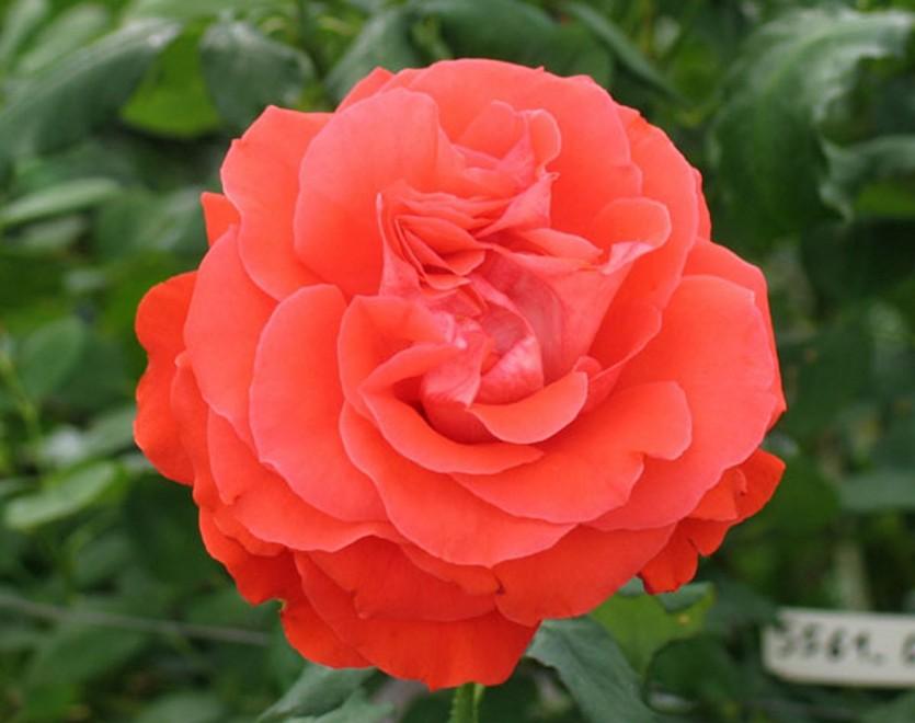 Роза Майнтауэр изображение 4