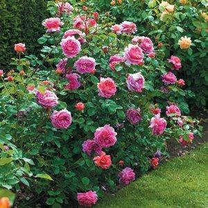 Роза Принцесса Александра оф Кент 2