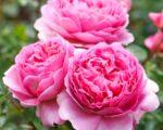 Роза Принцесса Александра оф Кент