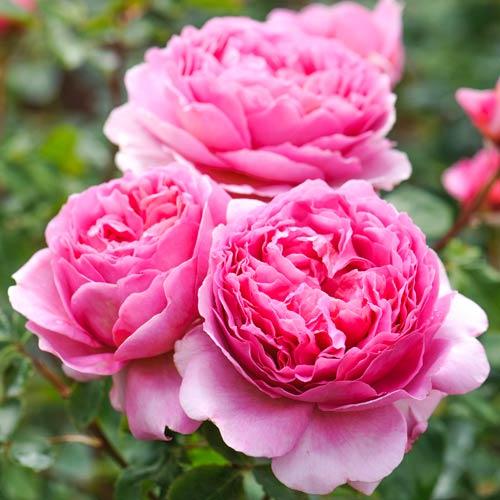 Роза Принцесса Александра оф Кент 1