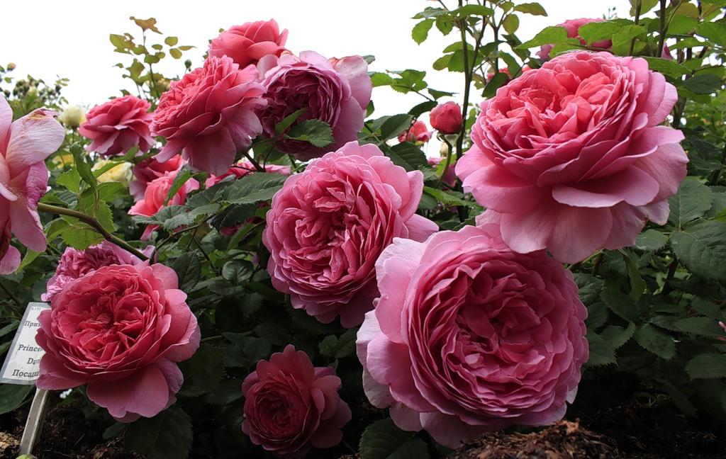 Роза Принцесса Александра оф Кент 4