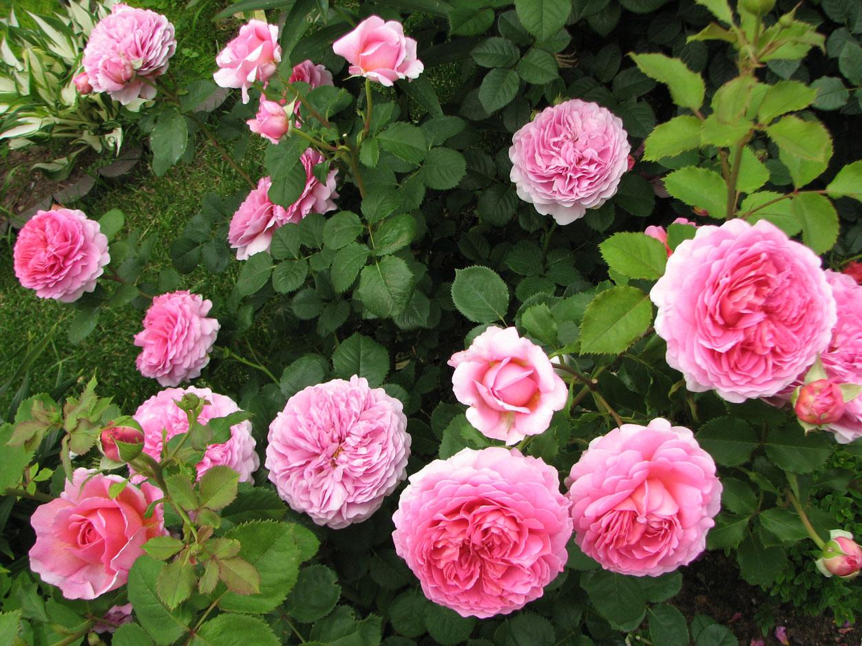 Роза Принцесса Александра оф Кент 3