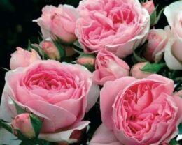 Роза Райский жемчуг
