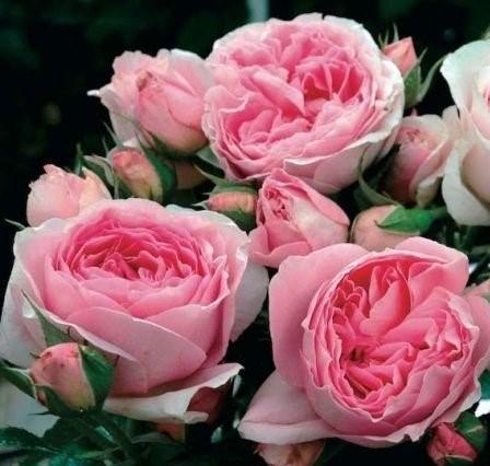 Роза Райский жемчуг 1