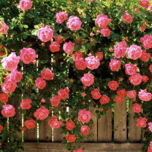 Роза Райский жемчуг 2
