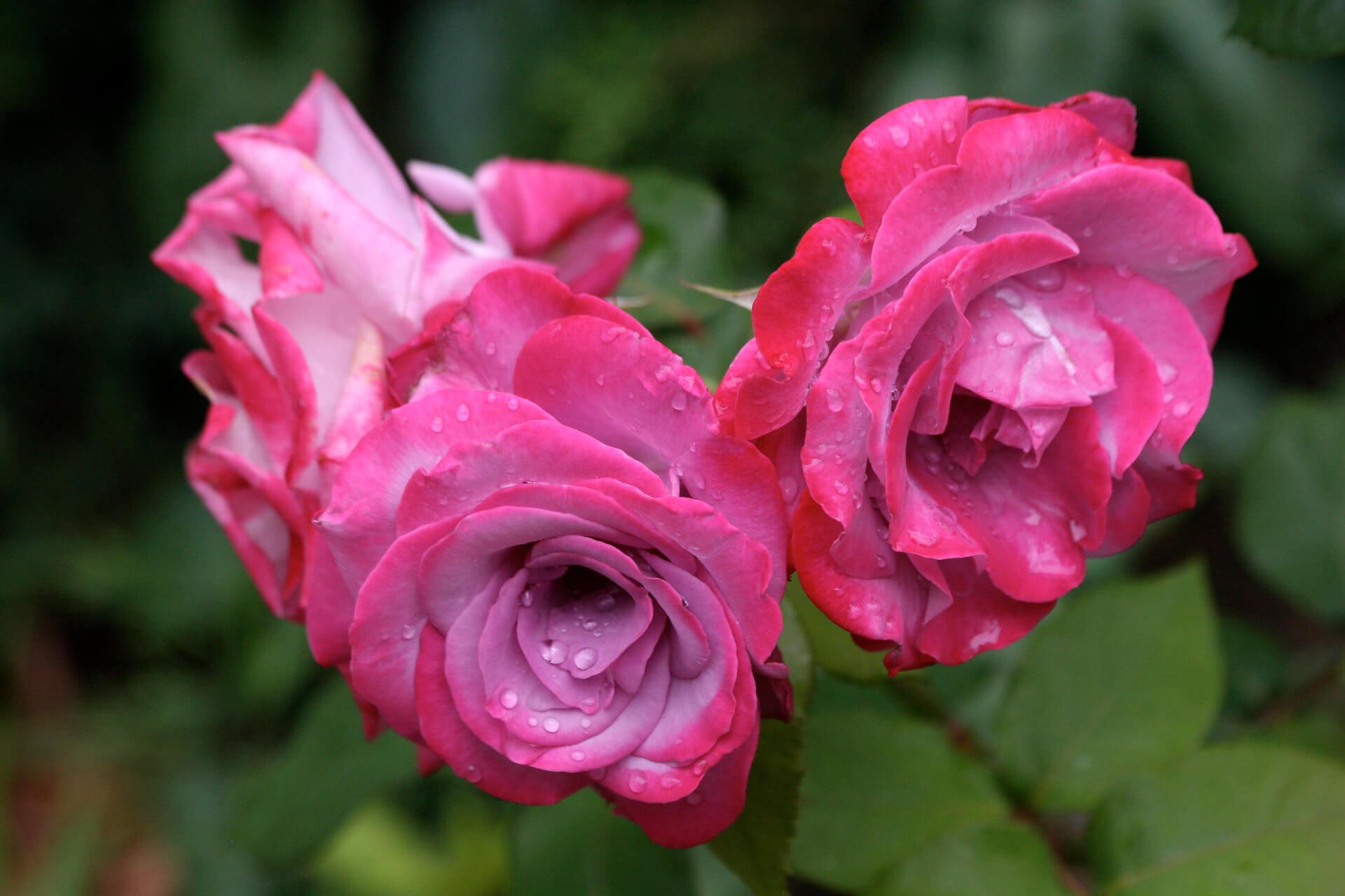 Роза Райский жемчуг 3