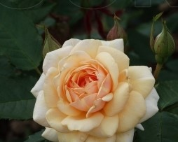 Роза Свит Хоней (Sweet Honey) изображение 3
