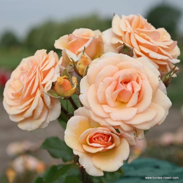 Роза Свит Хоней (Sweet Honey) изображение 2
