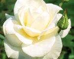 Роза Паскали