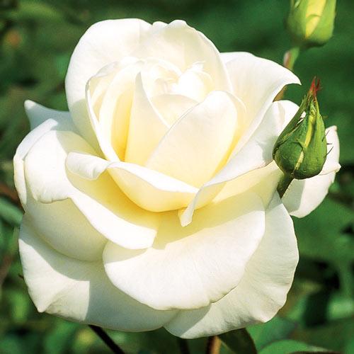 Роза Паскали 1