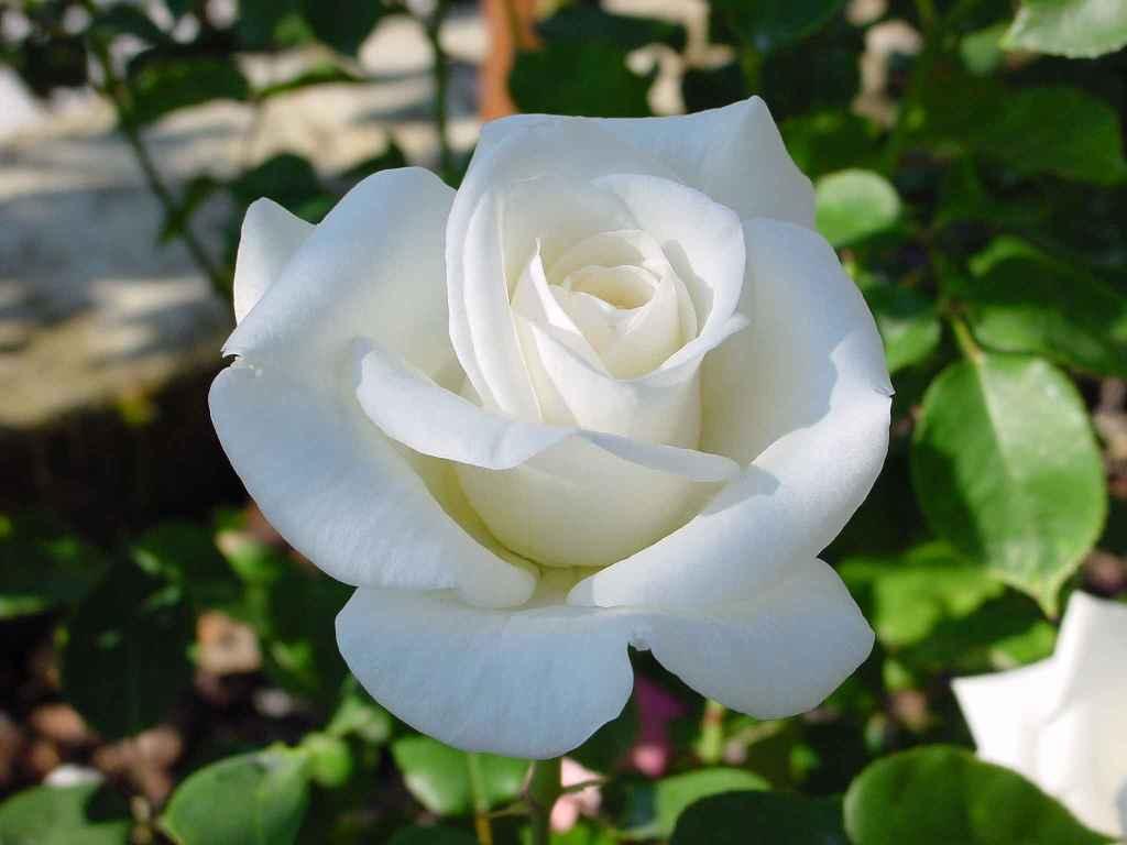 Роза Паскали 2