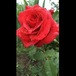 Роза Роял Вильямс 2
