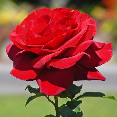 Роза Роял Вильямс 3