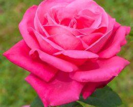 Роза Леди Митчел