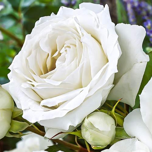 Роза Вайт Симфони 1