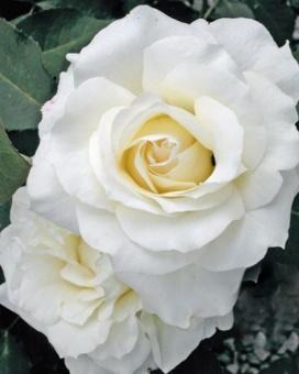 Роза Вайт Симфони 2