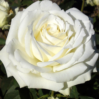Роза Вайт Симфони 4