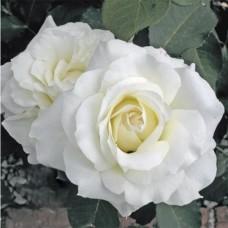 Роза Вайт Симфони 3