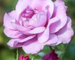 Роза Королева Красоты