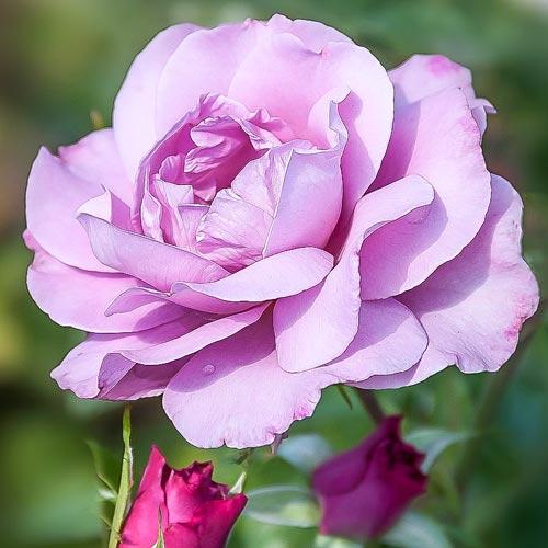 Роза Королева Красоты 1