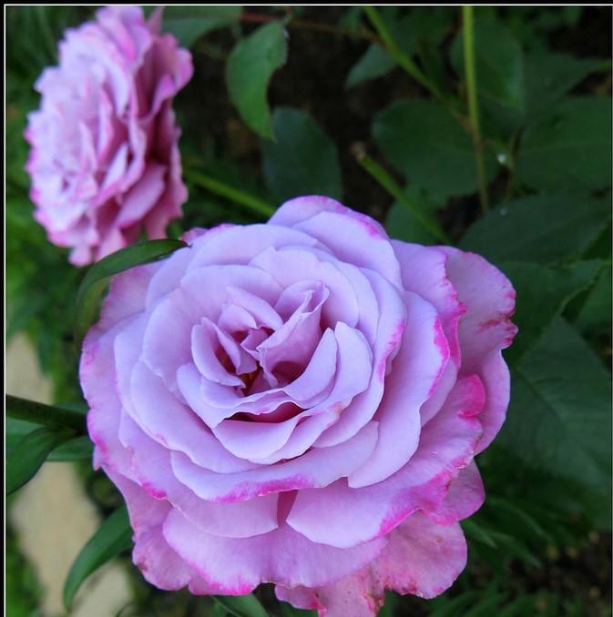 Роза Королева Красоты 2