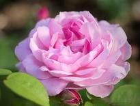 Роза Королева Красоты 3