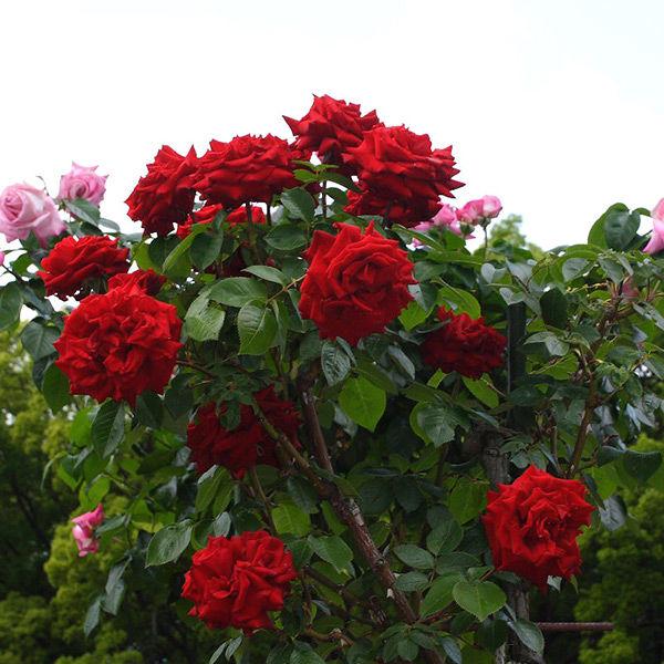 Роза Ингрид Бергман изображение 4