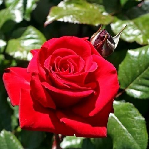 Роза Ингрид Бергман изображение 3