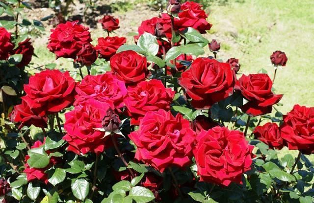 Роза Ингрид Бергман изображение 2