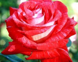 Роза Биколетте