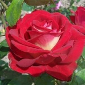 Роза Биколетте 2