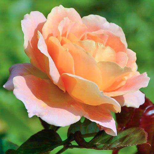 Роза Альпин Сансет 1