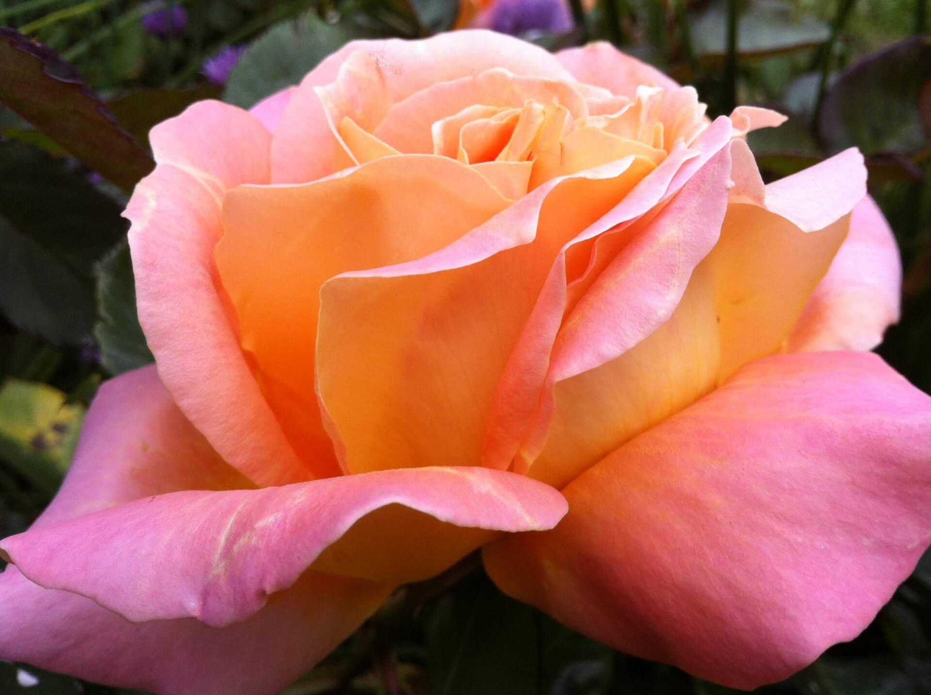 Роза Альпин Сансет 2