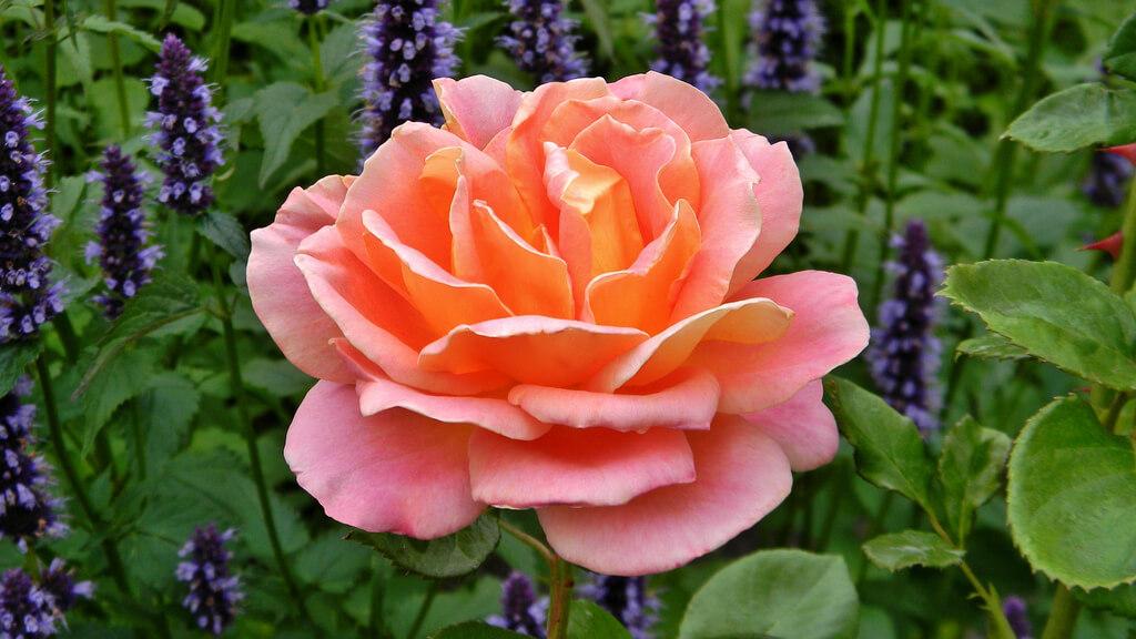 Роза Альпин Сансет 4