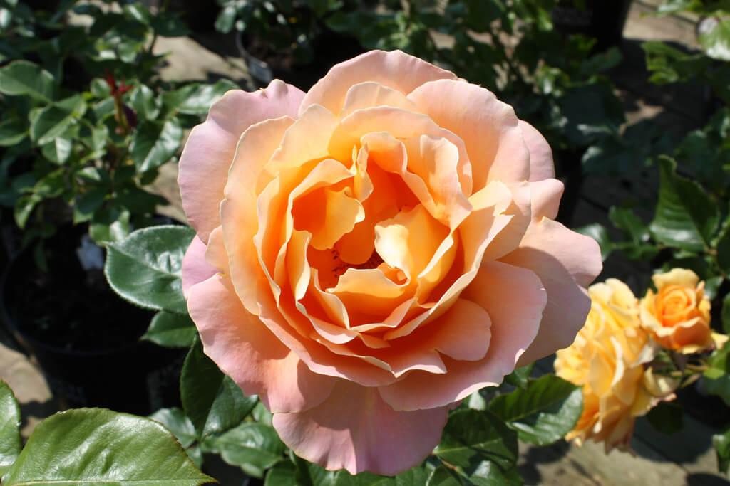Роза Альпин Сансет 3