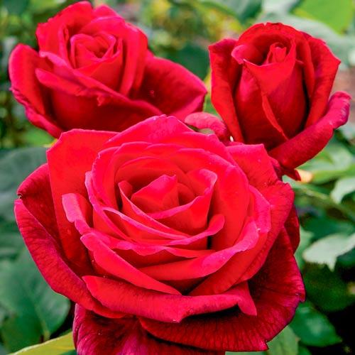Роза Мистер Линкольн изображение 1
