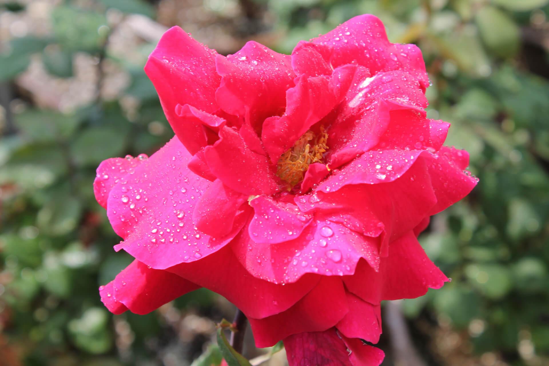 Роза Мистер Линкольн изображение 2