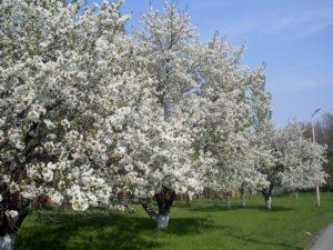 Посадка саженцев вишни весной – пошаговое руководство для начинающих садоводов