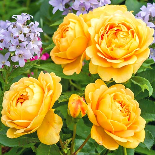 Роза Голден Селебрейшн 1