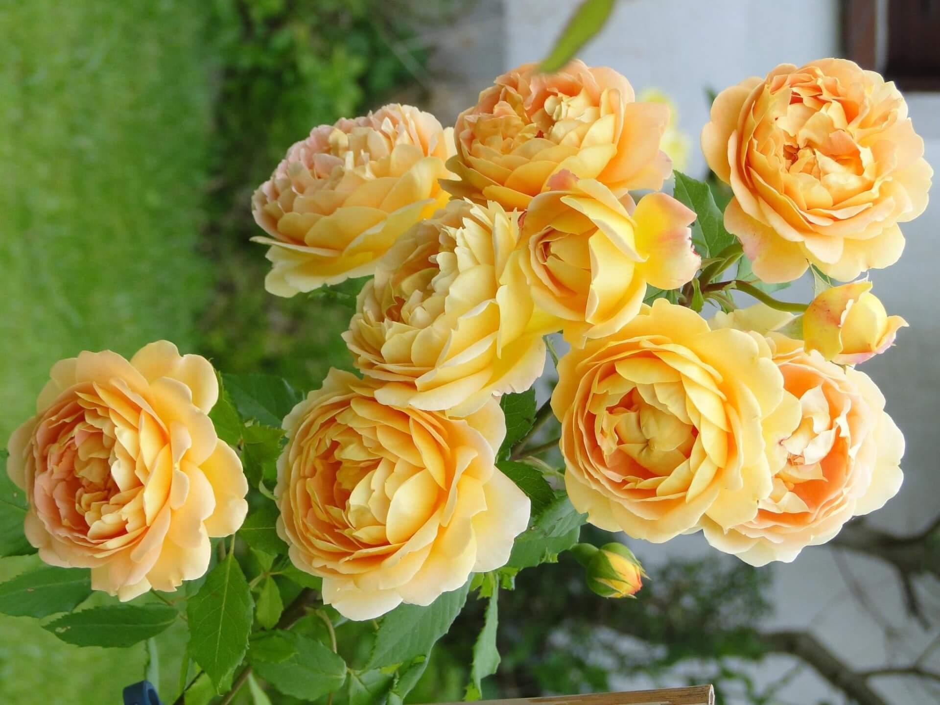 Роза Голден Селебрейшн 2