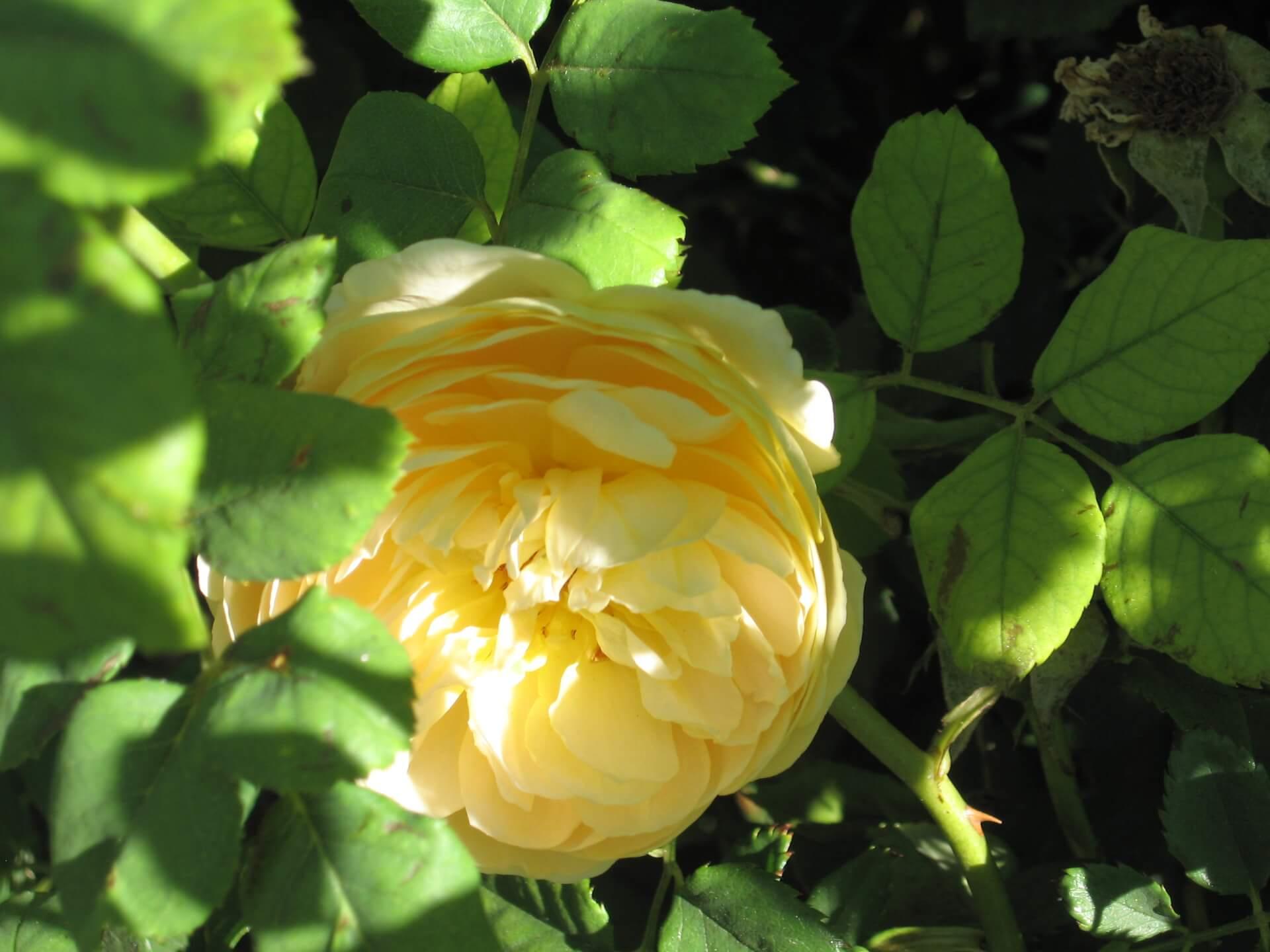 Роза Голден Селебрейшн изображение 4