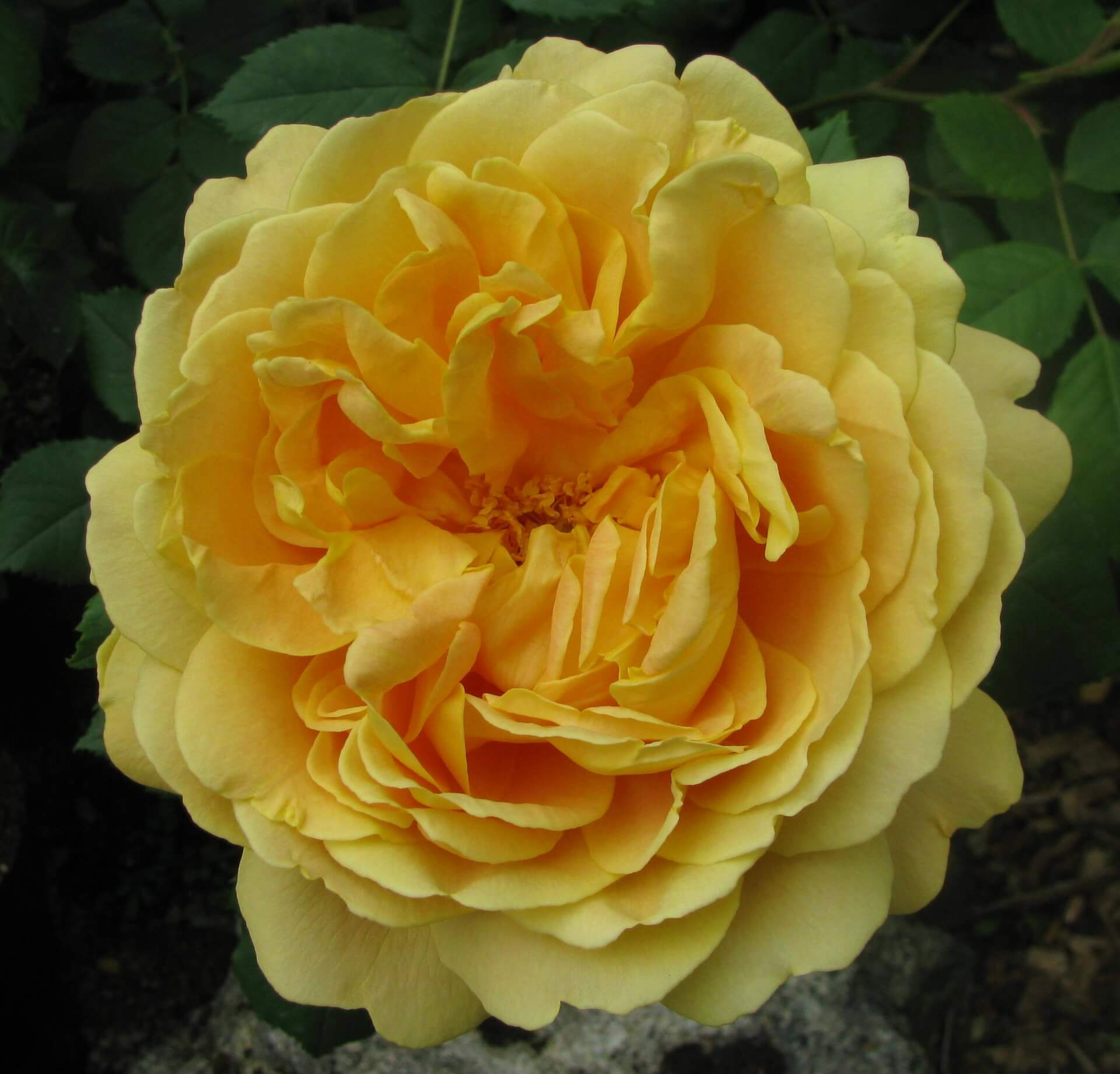 Роза Голден Селебрейшн 3