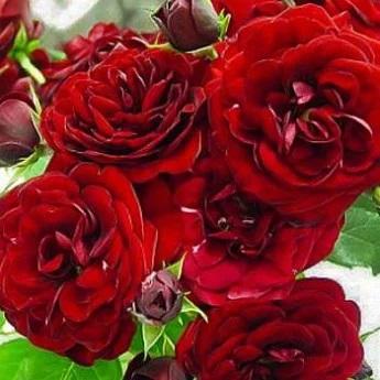 Роза Кармен 1