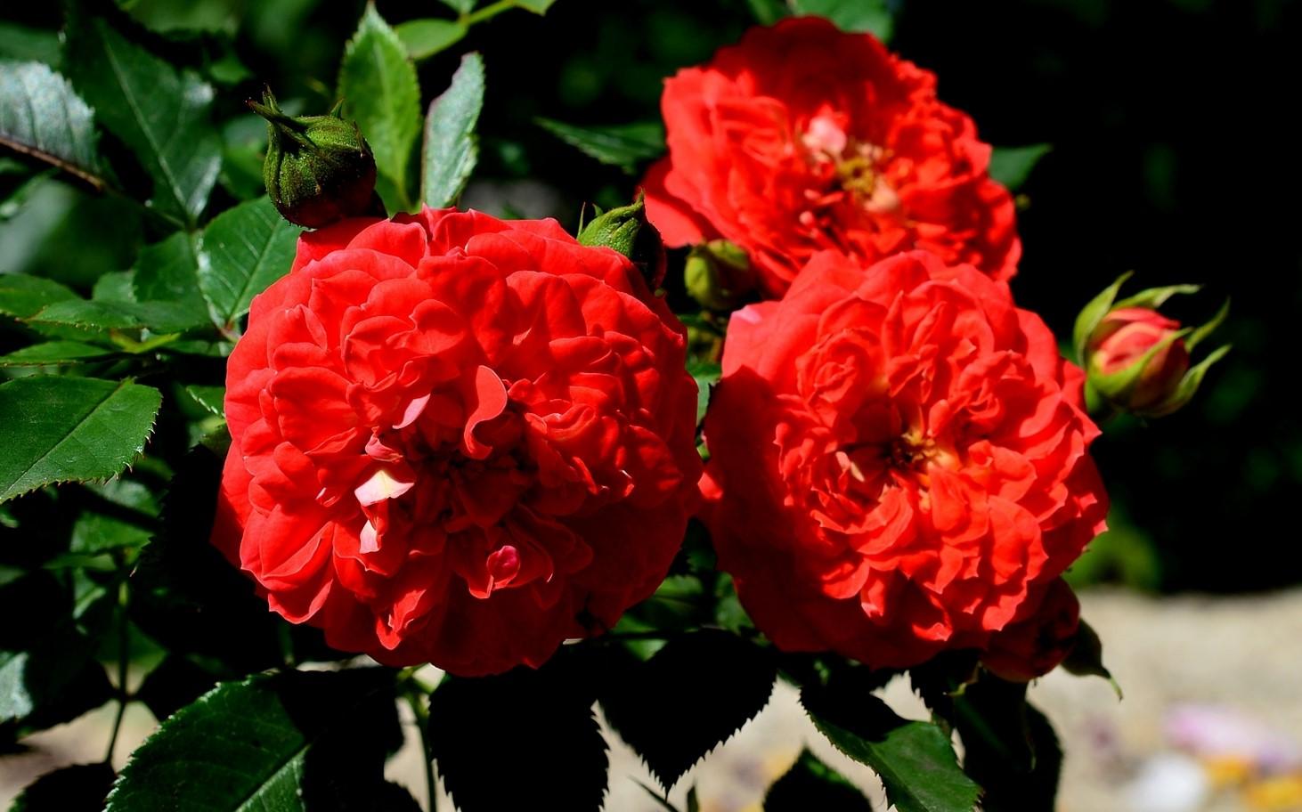 Роза Кармен 3